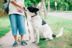 Cão branco com as orelhas pretas dos pontos pretos Imagens de Stock