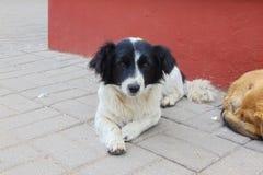 Cão branco com as orelhas pretas que encontram-se no passeio imagens de stock royalty free