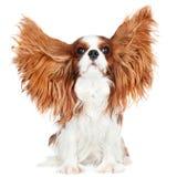 Cão descuidado do spaniel de rei Charles Fotografia de Stock Royalty Free