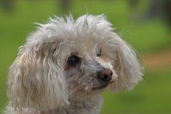 Cão branco da caniche do brinquedo Imagens de Stock Royalty Free