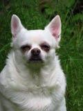 Cão branco da chihuahua na grama Fotografia de Stock Royalty Free