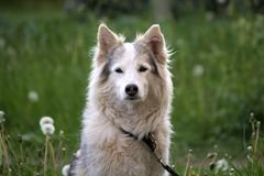 Cão branco da pele que espera o proprietário no gramado da grama verde fotografia de stock