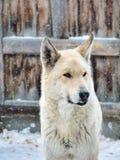 Cão branco da vila com o colmilho na neve do inverno fotografia de stock royalty free