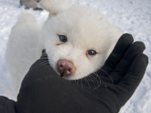 Cão branco de Akita Inu Foto de Stock Royalty Free