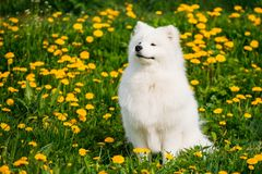 Cão branco de sorriso feliz novo do Samoyed ou Bjelkier, Sammy Sit Outdoor Fotografia de Stock Royalty Free