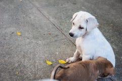 Cão branco do bebê pequeno que olha amigos no templo, Tailândia Imagens de Stock Royalty Free