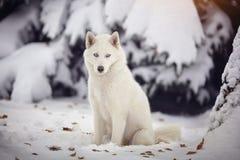 Cão branco do cão de puxar trenós Siberian em uma floresta nevado Fotografia de Stock