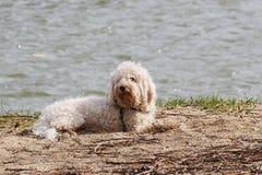 Cão branco do frise do bichon que coloca na areia no banco de rio foto de stock