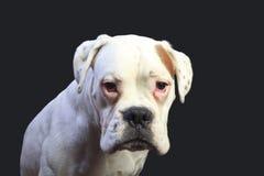 Cão branco do pugilista Imagens de Stock
