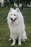 Cão branco do Samoyed Imagem de Stock