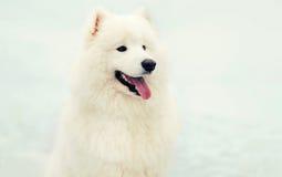 Cão branco do Samoyed do inverno feliz bonito na neve imagem de stock