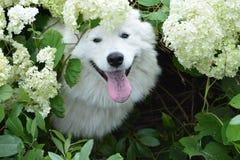 Cão branco do cão do cão do Samoyed nas flores Foto de Stock