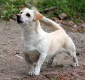 Cão branco do smole fotografia de stock