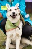 Cão branco do sorriso engraçado com orelhas aumentadas fotos de stock
