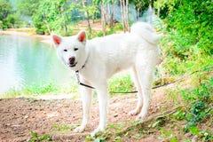 Cão branco fêmea Akita japonês Akita Inu Fotografia de Stock