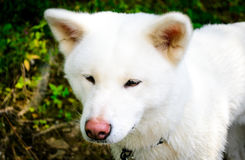 Cão branco fêmea Akita japonês Akita Inu Fotografia de Stock Royalty Free
