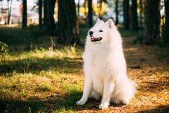 Cão branco feliz do Samoyed exterior na floresta Fotografia de Stock Royalty Free