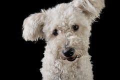 Cão branco mixedbreed bonito no fundo preto que olha t Imagens de Stock
