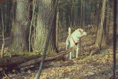 Cão branco na floresta em uma tarde ensolarada Imagens de Stock