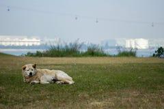 Cão branco na grama Imagens de Stock