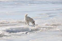Cão branco no gelo Fotos de Stock Royalty Free