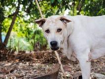 Cão branco no quintal fotos de stock