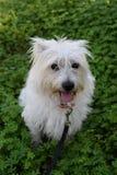 Cão branco pequeno Foto de Stock Royalty Free