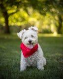 Cão branco pequeno no parque com bandanna vermelho imagens de stock