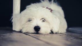 Cão branco pequeno que encontra-se no assoalho imagem de stock royalty free