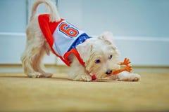 cão branco pequeno que joga com brinquedo foto de stock