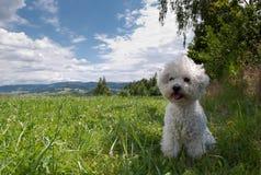Cão branco pequeno que senta-se na grama Imagens de Stock Royalty Free