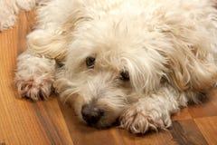 Cão branco preguiçoso fotografia de stock royalty free