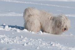 Cão branco que procura um rato sob uma neve Foto de Stock