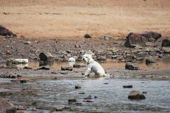 Cão branco que senta-se na água perto da costa rochosa foto de stock royalty free