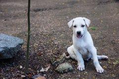 Cão branco que sorri no templo, Tailândia do bebê pequeno Imagem de Stock