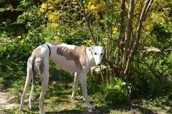 Cão branco/rajado do galgo está em um jardim fotografia de stock