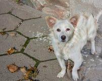 Cão branco triste Fotografia de Stock