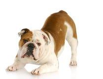 Cão brincalhão Foto de Stock Royalty Free