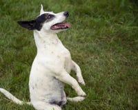 Cão brincalhão Imagens de Stock