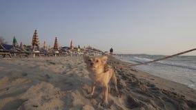 Cão brincalhão na praia Fotos de Stock Royalty Free