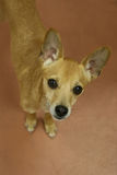 Cão bronzeado pequeno que olha acima em você com curiosidade Imagens de Stock Royalty Free