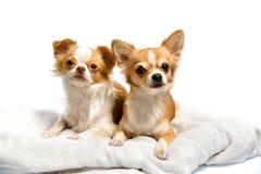 Cão Brown da chihuahua imagem de stock