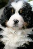 Cão Burmese da montanha Imagens de Stock Royalty Free