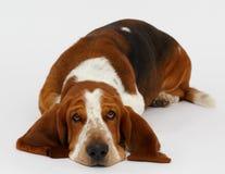 Cão, cão de basset, isolado Foto de Stock