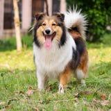 Cão, cão pastor de Shetland, collie, sheltie Foto de Stock
