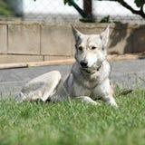 Cão caçador de lobos bonito dos saarloos imagem de stock