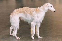 Cão caçador de lobos branco do borzói do russo do cão Fotografia de Stock