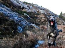 Cão caçador de lobos irlandês running foto de stock royalty free