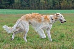 Cão caçador de lobos running do russo Foto de Stock