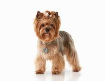 Cão Cachorrinho de Yorkie no fundo branco do inclinação Foto de Stock Royalty Free